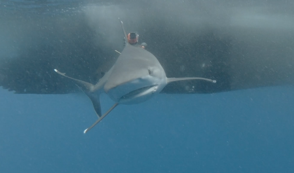Shark with a bio-logging camera tag