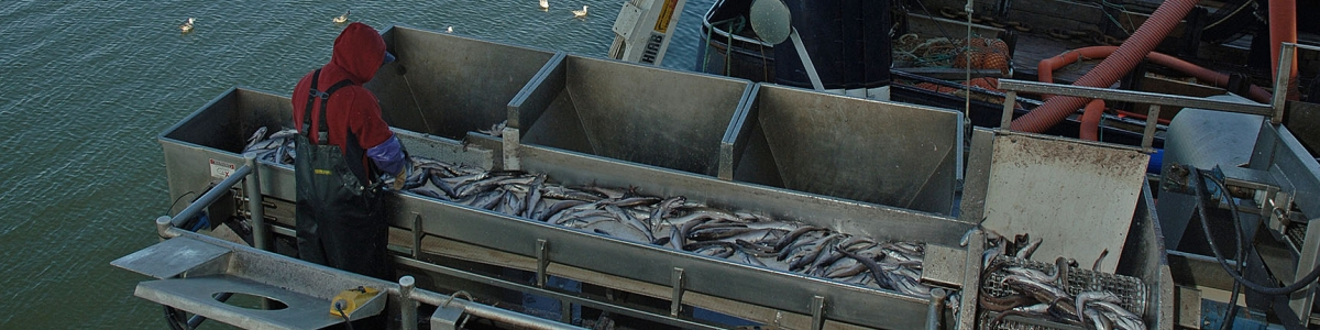 A conveyor moves fresh Pacific whiting into the Pacific Seafood surimi facility in Warrenton, Oregon. Photo by Lynn Ketchum.