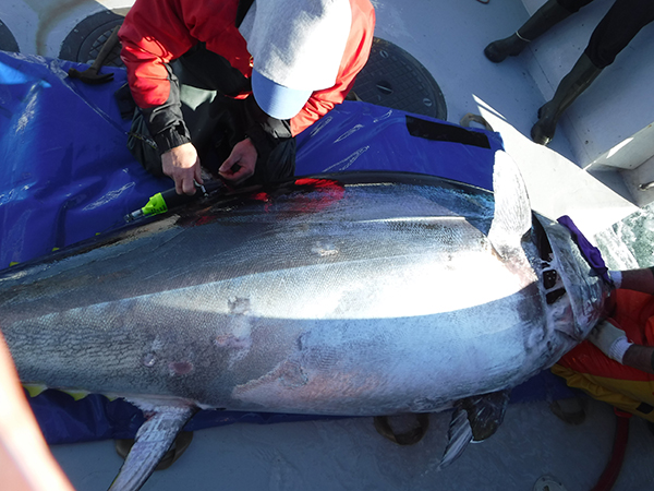 Tagging Bluefin tuna to track movements and kinematics