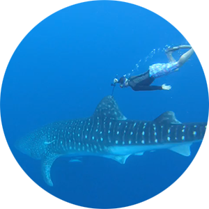 I track the movements of sharks and other fishes, including this 5.2m male whale shark, around the British Indian Ocean Territory and the greater Western Indian Ocean.